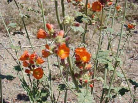 Red / Safron flowers found near                   Sedona